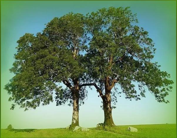Береза и дуб